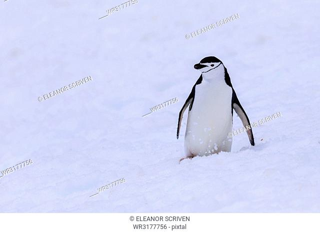 Chinstrap penguin (Pygoscelis antarcticus) in the snow, Half Moon Island, South Shetland Islands, Antarctica, Polar Regions