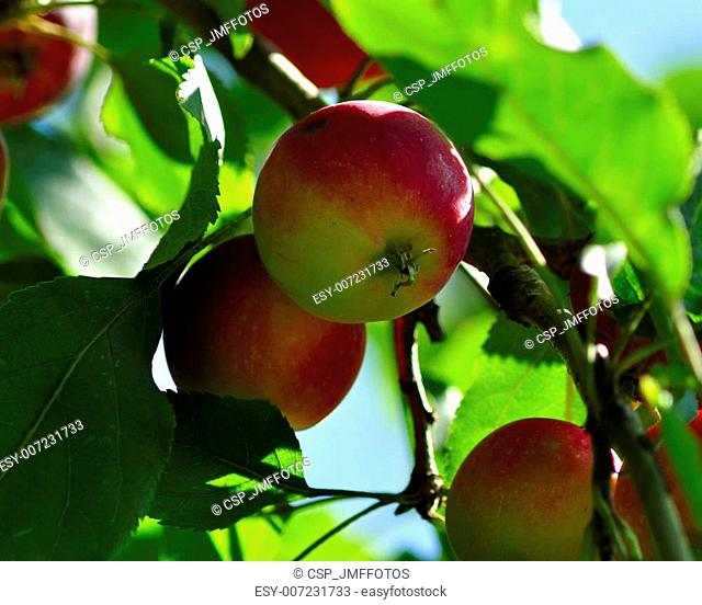 apple tree great shoot