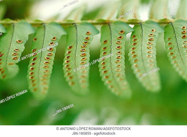 Spores on Fern leaf