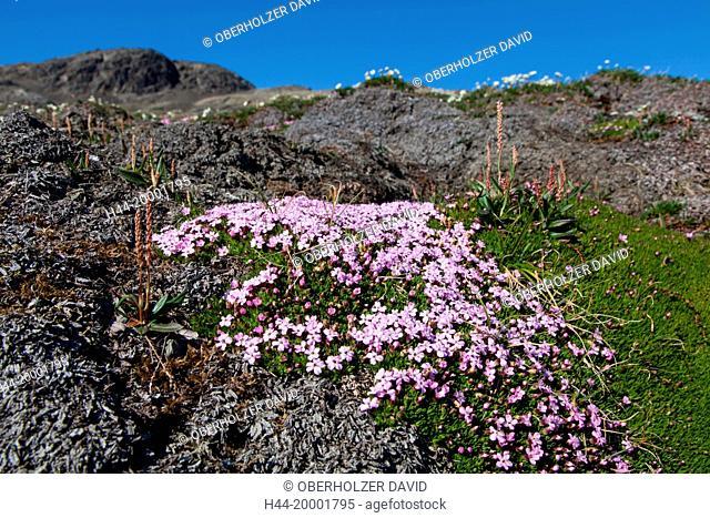 Spitsbergen, pink knotweed
