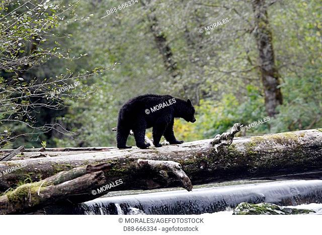 Black Bear (Ursus americanus). British Columbia, Canada