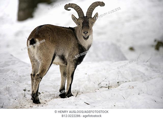 Pyrenean Ibex in the snow (Capra pyrenaica), Spain