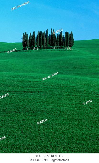 Italian Zypresses San Quirico Tuscany Italy Cupressus sempervirens