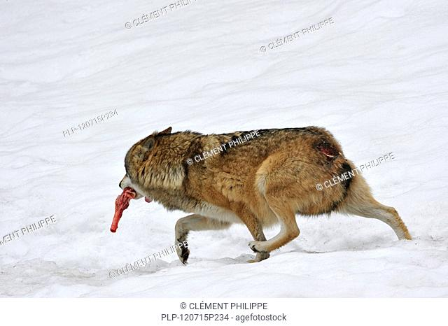 Wounded subordinate European / Grey wolf Canis lupus running away with meat in the snow in winter while showing submissive behaviour by flattening the ears and...