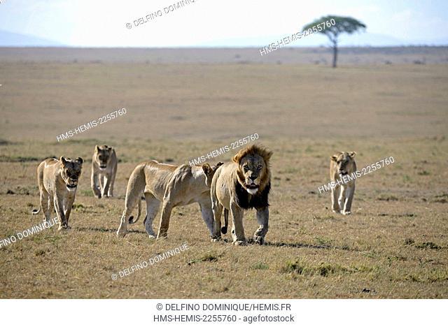 Kenya, Masai Mara Reserve, Family Lions (Panthera leo) is déplcaçant with youth in Savannah