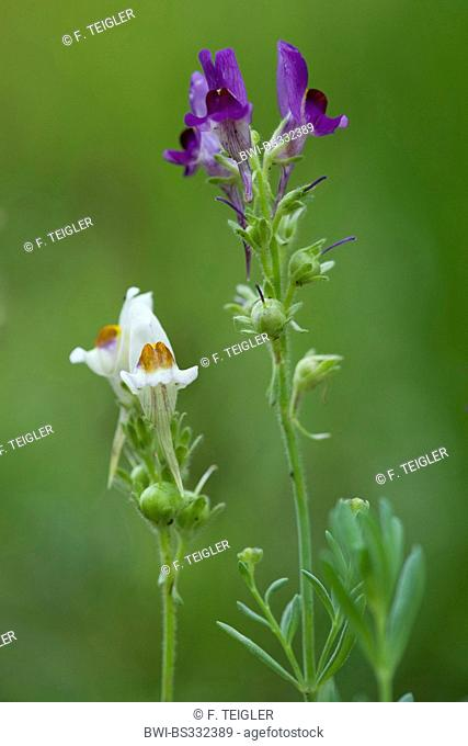 alpine toadflax (Linaria alpina), blooming in white and violet, Germany