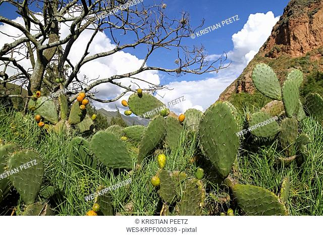 South America, Peru, Cusco, Andes, Opuntia