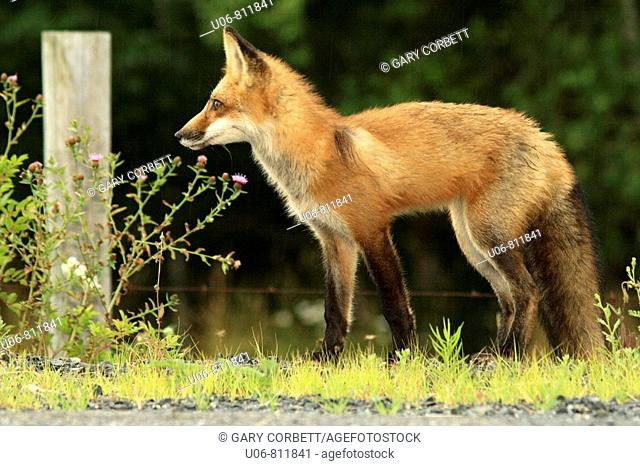 A red fox (Vulpes vulpes) standing by a fence