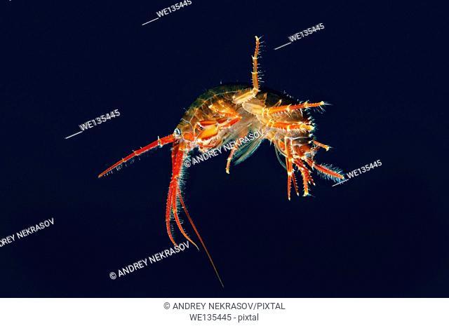 Gammarid (Eulimnogammarus violaceus), Lake Baikal, Siberia, Russian Federation, Eurasia