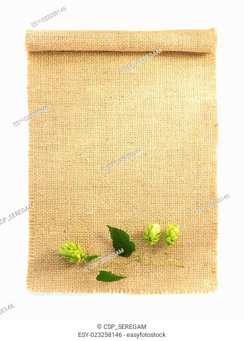 hop cones isolated on white