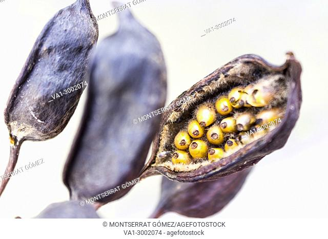 Seeds and pod of Brachychiton rupestris. Palermo, Sicily. Italy