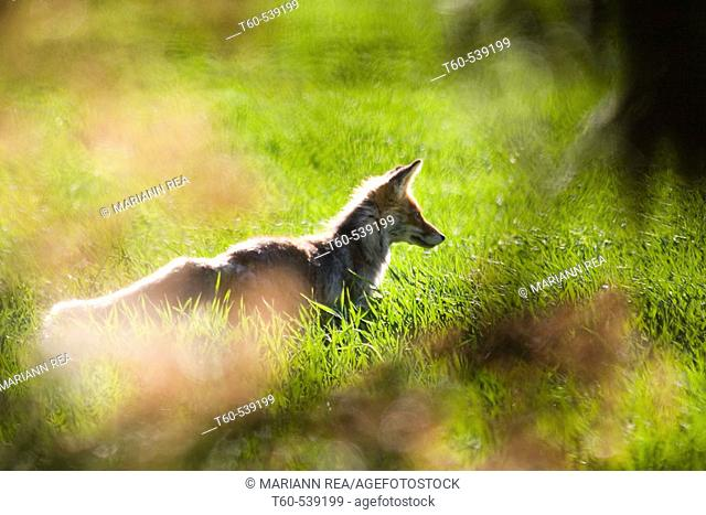 A fox in a field catching mice, in Saaremaa, the biggest island of Estonia