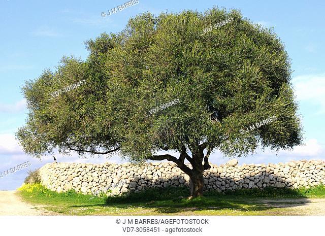 Wild olive (Olea europaea sylvestris or Olea europaea oleaster) is a shrub or small tree native to Mediterranean Basin. This photo was taken in Menorca Island