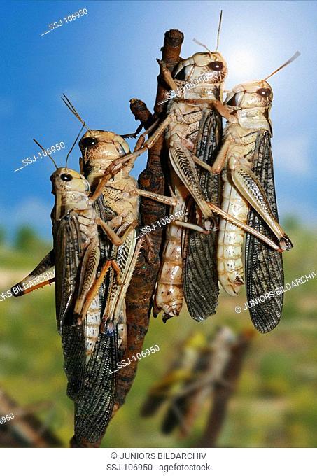 Locusta migratoria / migratory locust