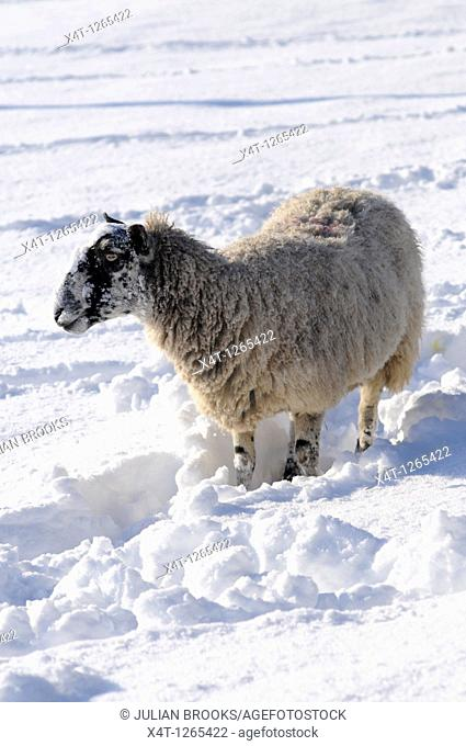 a single ewe looking for food under the snow