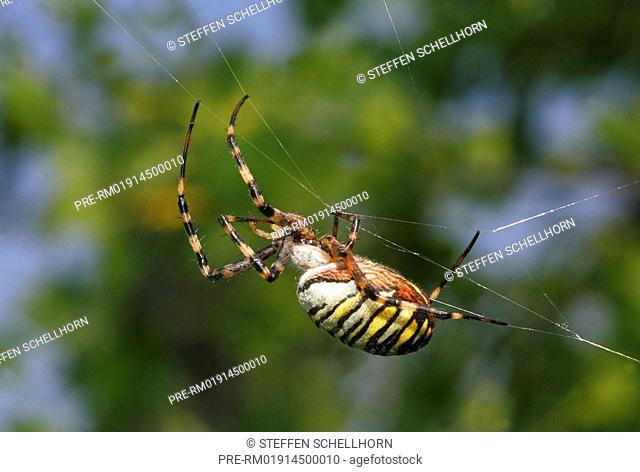 Black-and-yellow Argiope, Black-and-yellow garden spider, Argiope bruennichi