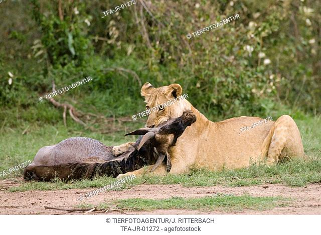 lioness with prey
