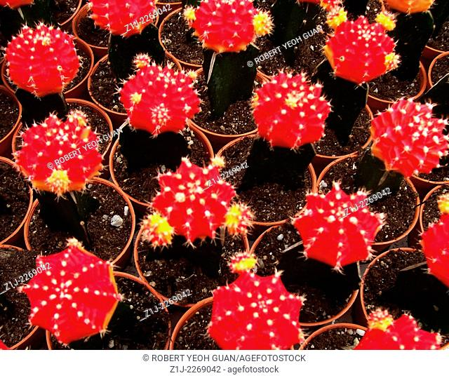 MINITURES RED HEALTHY YOUNG FLOWERING CATCUS ON DISPLAY FOR SALE.TAKEN CAMERON HIGHLANDS, MALAYSIA