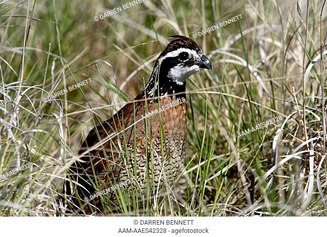 Northern Bobwhite (Colinus virginianus) Male in tall grass Darren Bennett Photo