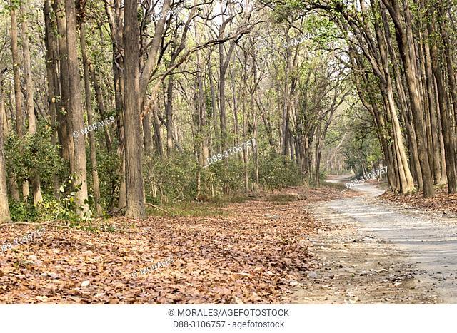 Asia, India, Uttarakhand, Jim Corbett National Park, Dhikala, Bengal Tiger ( Panthera tigris tigris) crossing a forest walkway of sal or sâla (Shorea robusta)