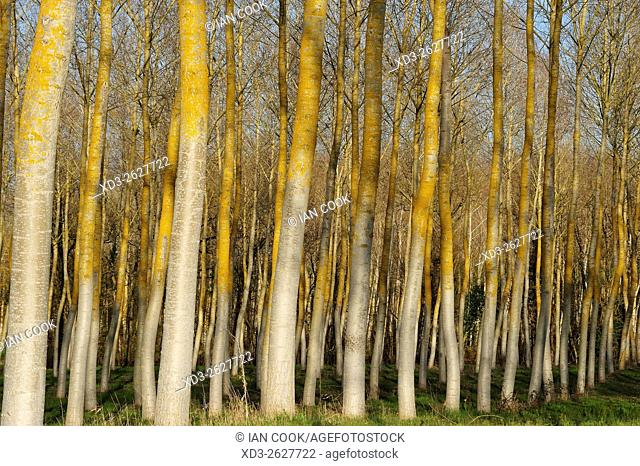 poplar, populus spp. , forest in winter, Lot-et-Garonne Department, Aquitaine, France