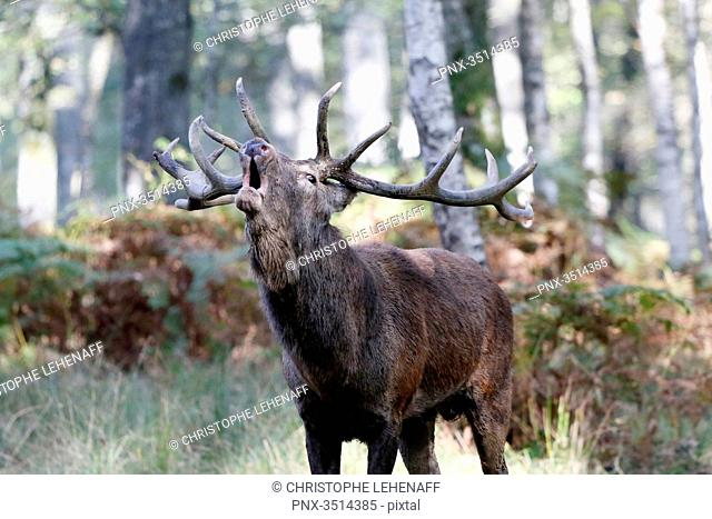 France, Burgundy, Yonne. Area of Saint Fargeau and Boutissaint. Slab season. Stag in a wood belling