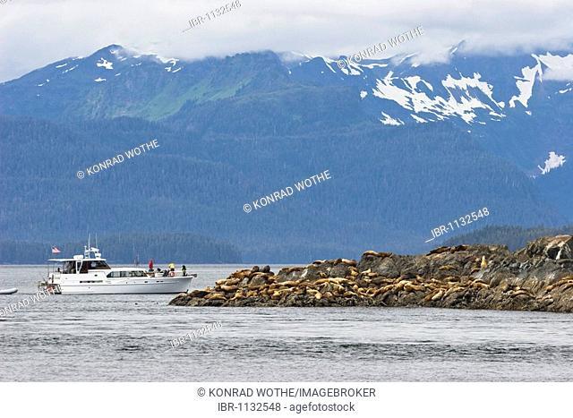 Steller Sealions (Eumetopias jubatus), Inside Passage, Alaska, USA
