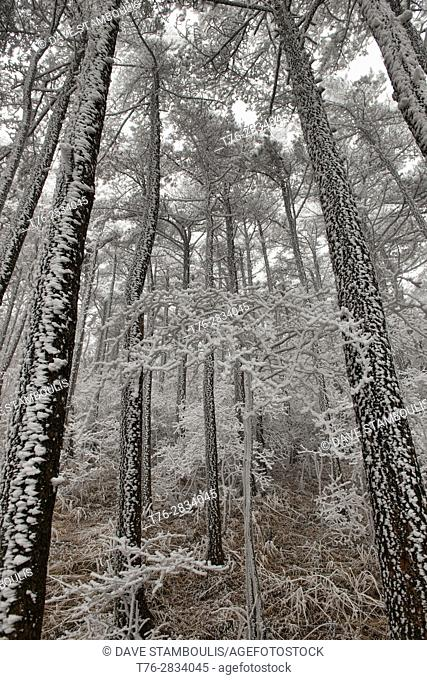 Winter wonderland, rime cover after frozen snow, Huangshan National Park, Anhui, China
