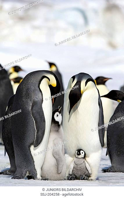 Emperor Penguin (Aptenodytes forsteri). Two adults with chicks on their feet standing on ice. Snow Hill Island, Antarctica