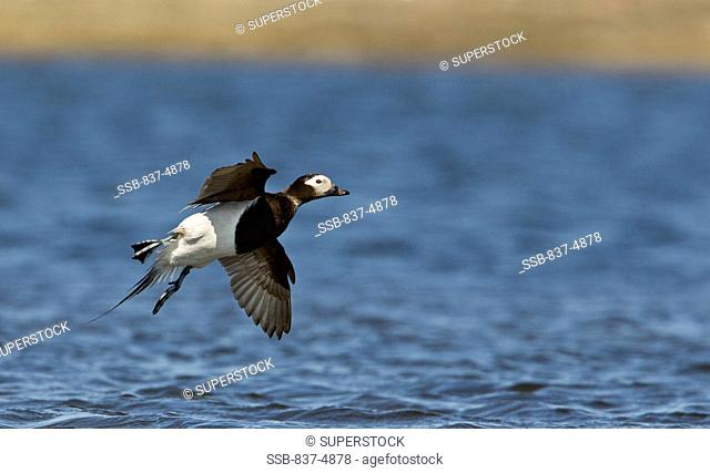 Long-Tailed Duck flying above water surface