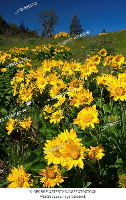Balsamroot (Balsamorhiza deltoidea), Historic Columbia River Highway State Trail, Columbia River Gorge National Scenic Area, Oregon