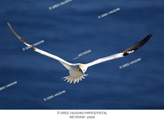 Northern Gannet in flight over Bird Rock at Cape St. Mary's Ecological Reserve, Newfoundland, Canada