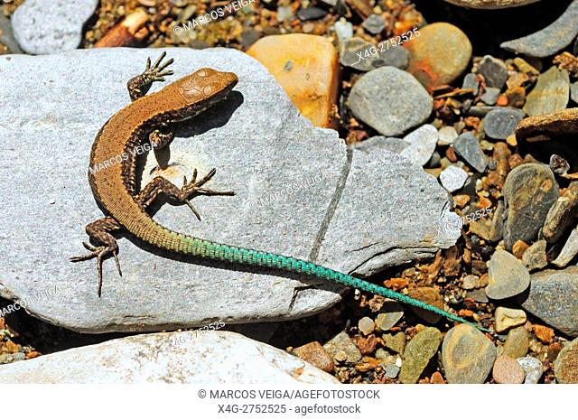 Young Iberian Wall lizard (Podarcis hispanica)