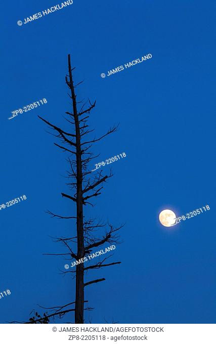 A nearly full moon rises beside a dying tree at dusk. Massasauga Provincial Park, Ontario, Canada