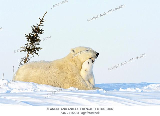 Polar bear mother (Ursus maritimus) playing with new born cub on tundra, Wapusk National Park, Manitoba, Canada