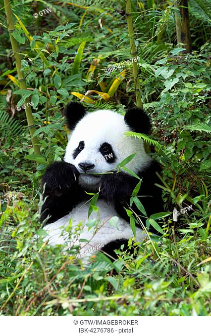 Giant Panda (Ailuropoda melanoleuca), 2 years, resting, China Conservation and Research Centre for the Giant Panda, Chengdu, Sichuan, China