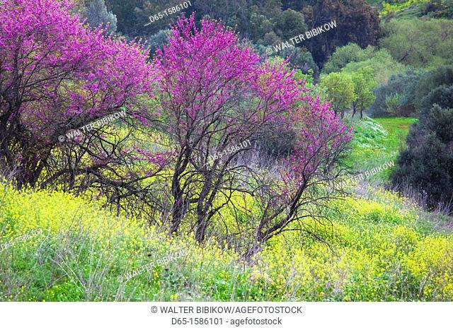 Israel, Upper Galilee, Metula, fruit trees by frontier with Lebanon, early spring