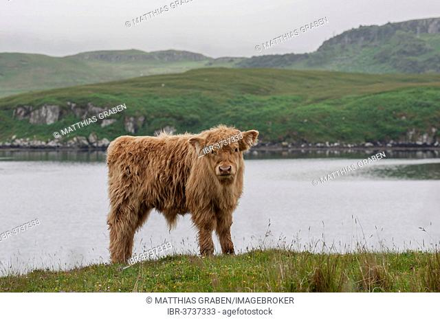 Scottish Highland Cattle, calf, standing on a pasture by the sea, Dunvegan, Isle of Skye, Inner Hebrides, Scotland, United Kingdom