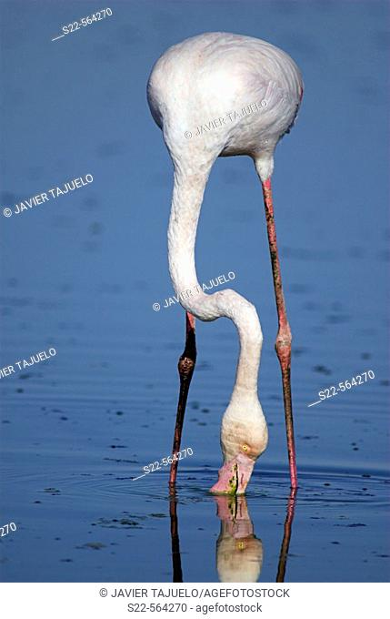 Greater Flamingo (Phoenicopterus ruber). Toledo, Castilla La Mancha, Spain