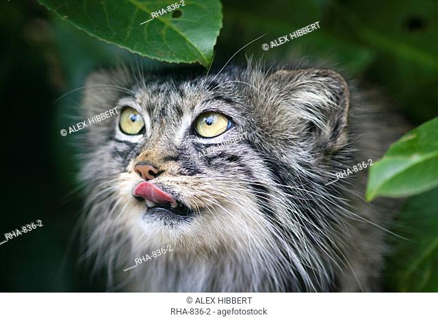 Pallas cat Otocolobus manul close-up, controlled conditions, Kent, England, United Kingdom, Europe