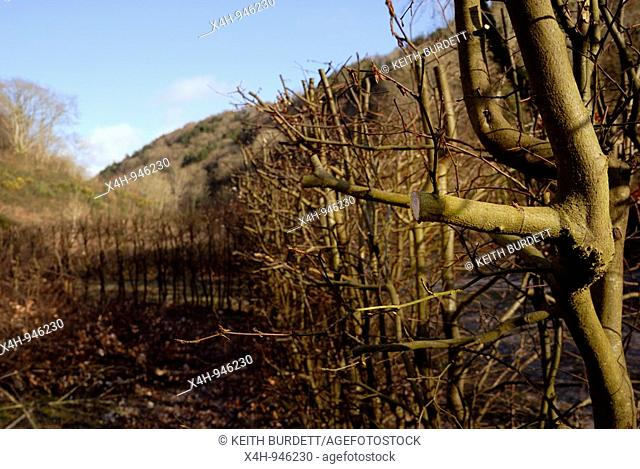 Fagus sylvatica, Beech hedge, hard pruned to stimulate growth, Wales