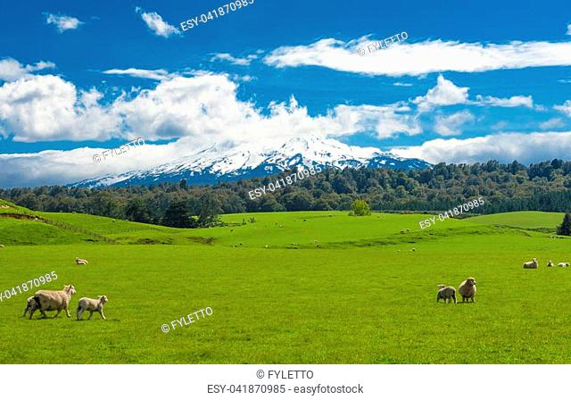 Beautiful landscape of the New Zealand - hills covered by green grass with herds of sheep with a mighty volcano Mt. Ruapehu covered by snow behind