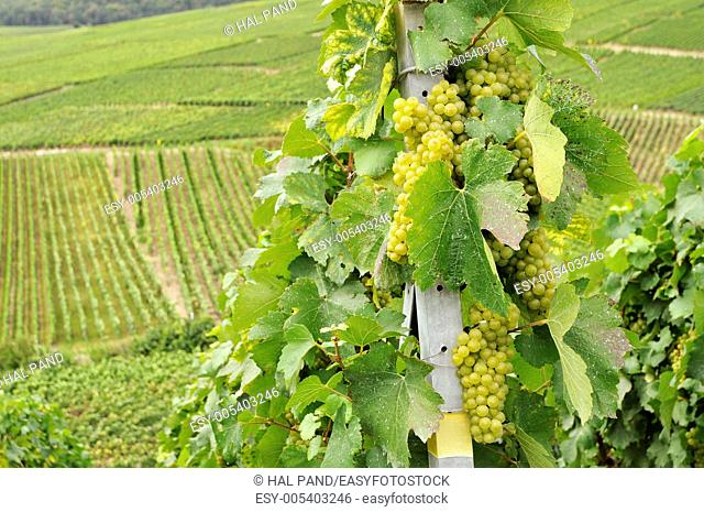 white grapes and vine leaves in vineyard