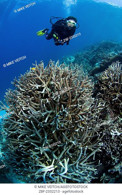 A diver inspects a hard coral garden, with a variety of table, leather, and staghorn corals, Acropora sp., Porites sp., Litophyton sp., sarcophyton sp
