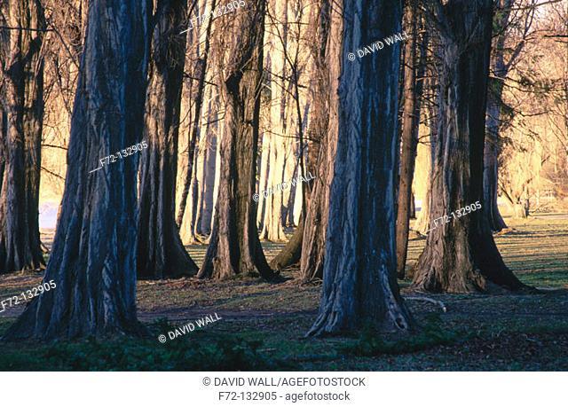 Poplar trees (Populus sp.). South Island. New Zealand