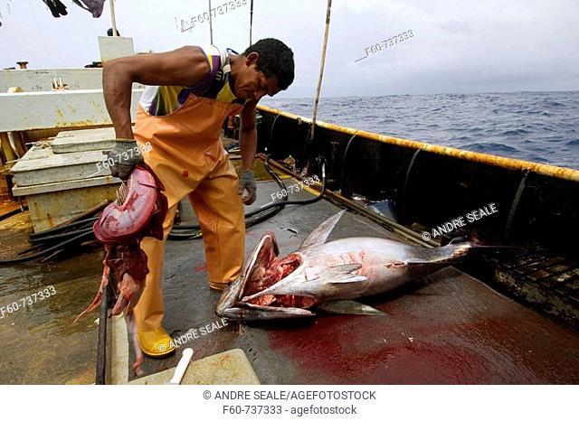 Fishermen rips gills off yellowfin tuna, Thunnus albacares, Offshore commercial longline tuna fishing, Brazil, Atlantic Ocean