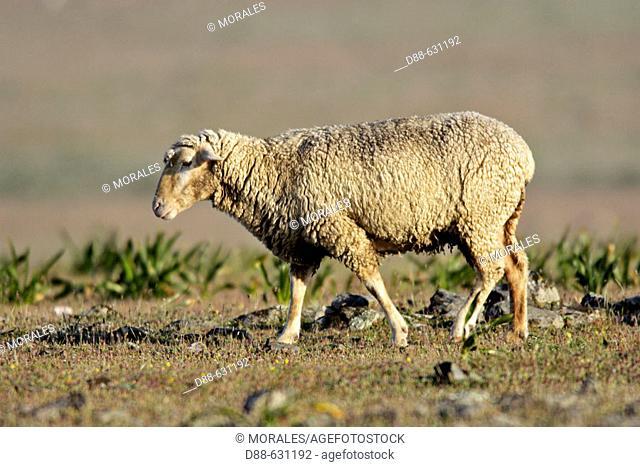 Merino sheep. Cáceres province, Extremadura. Spain