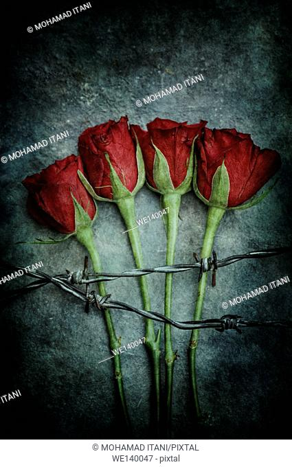 Red roses behind barbed wire