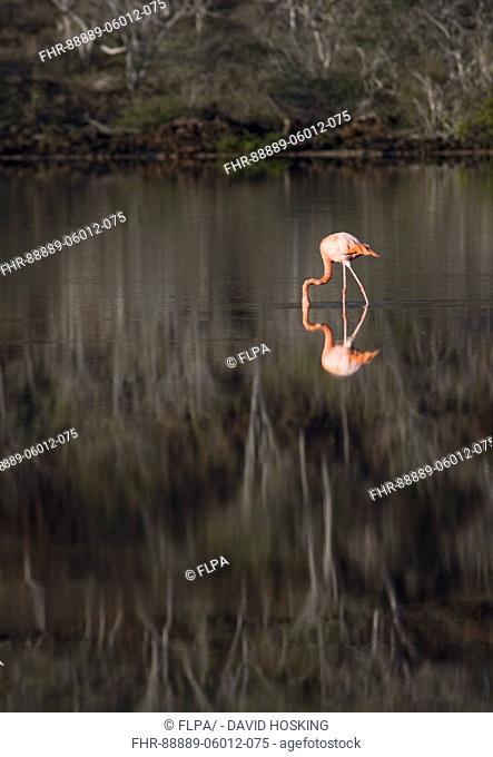 Greater Flamingo reflections at Punta Cormoran - Galapagos