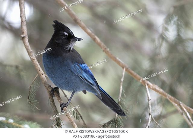 Steller's Jay ( Cyanocitta stelleri ) perched in a conifer tree, watching back over its shoulder, Yellowstone Area, Montana, USA